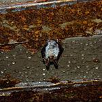 Zdjęcie przedstawiające wiszącego z sufitu korytarza w bunkrach nietoperza. Jest to przedstawiciel gatunku Nocek Bechsteina